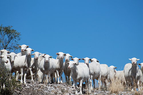 white lambs standing on a hill top